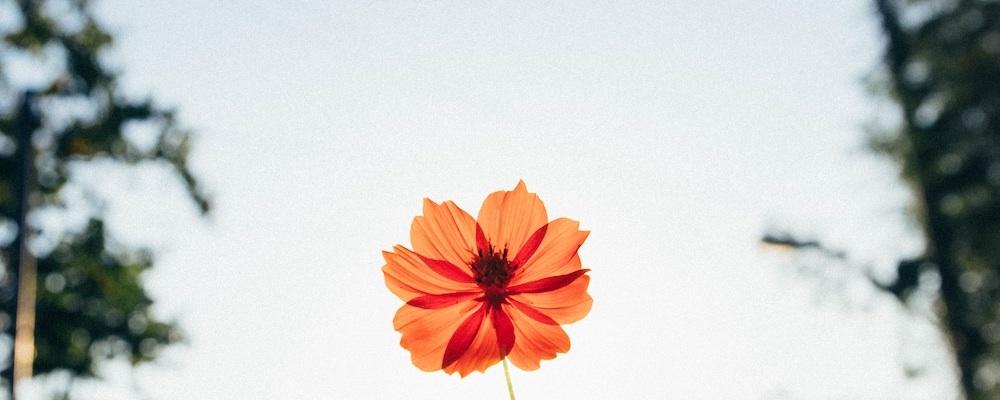 korean flower